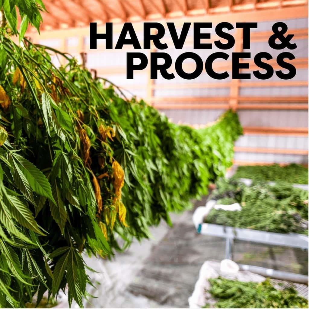 harvest and process hemp plants at veritas farms